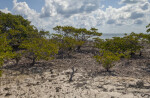 Group of Black Mangrove Trees