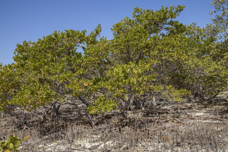 Group of Black Mangroves at Biscayne National Park