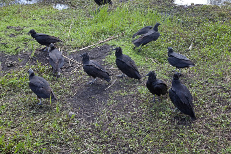 Group of Black Vultures at Anhinga Trail of Everglades National Park