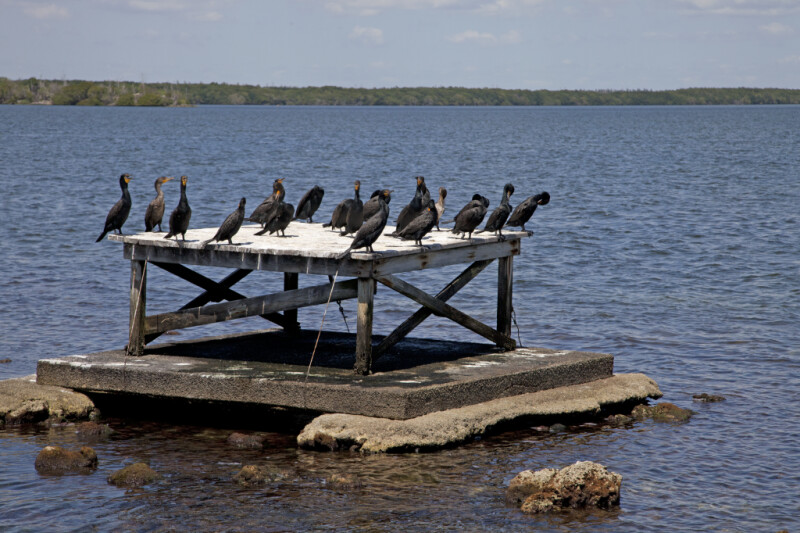 Group of Double-Crested Cormorants Resting on a Wooden Structure
