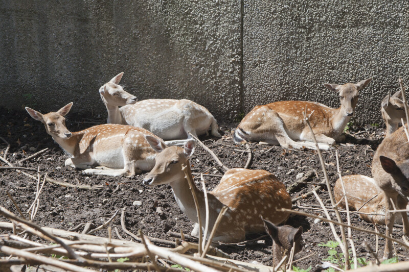 Group of Female Persian Fallow Deer