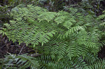 Group of Ferns near the Big Cypress Bend Boardwalk