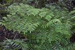 Group of Ferns near the Big Cypress Bend Boardwalk