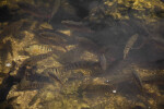 Group of Fish at Big Cypress National Preserve