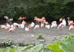 Group of Flamingos