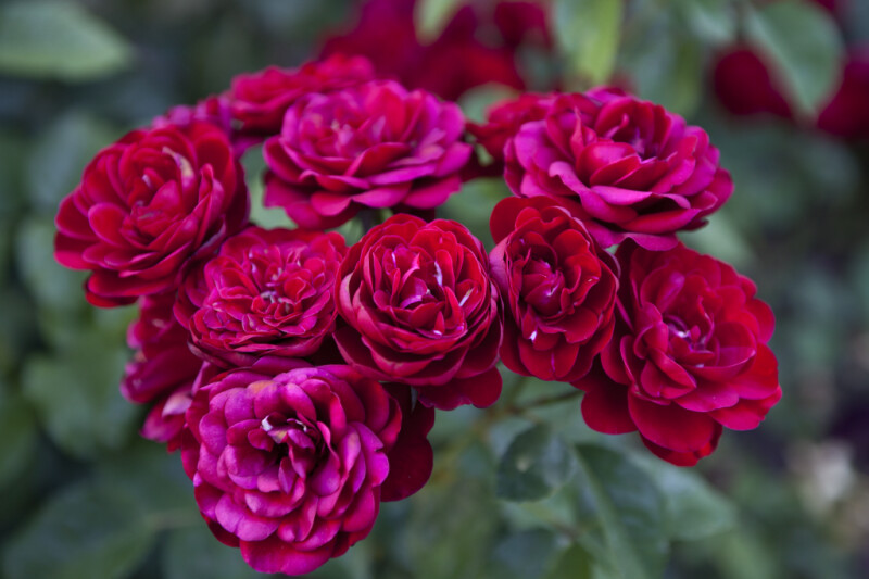 Group of Floribunda 'Lavaglut' Rose Flowers