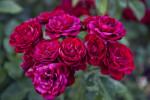 Group of Floribunda 'Lavaglut' Rose Flowers