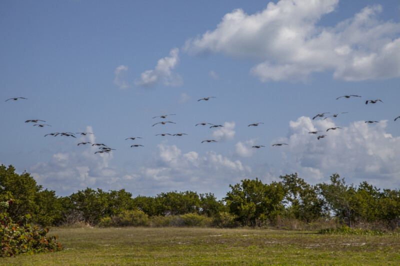Group of Flying Pelicans