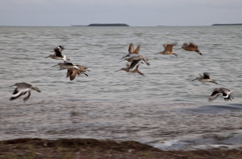Group of Flying Shorebirds at the Florida Campgrounds of Everglades National Park