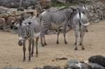 Group of Grevy's Zebras at the Artis Royal Zoo