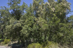 Group of Island Mountain Mahogany Trees
