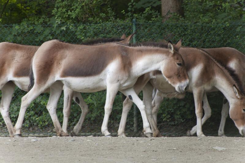 Group of Kiang Walking