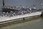 Group of Laughing Gulls on a Boat Dock at the Flamingo Marina of Everglades National Park