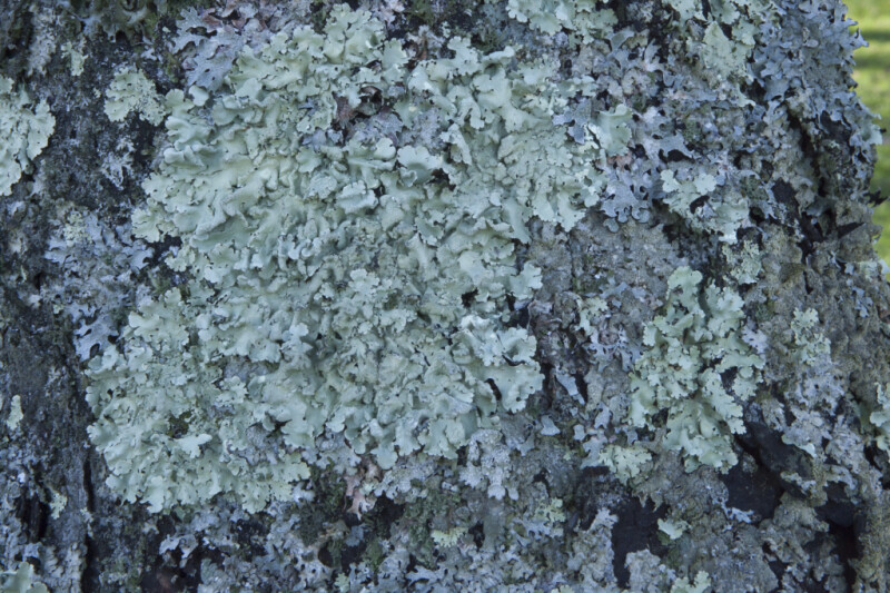 Group of Lichens Covering a Tree's Bark