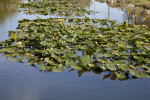 Group of Lily Pads at the Big Cypress National Preserve