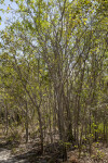 Group of Mangrove Trees at Biscayne National Park