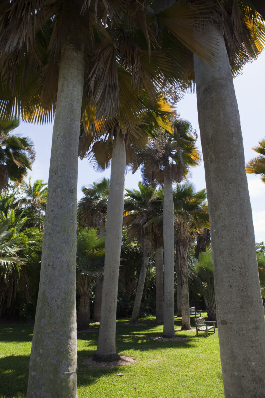 Group of Palms in Grassy Area