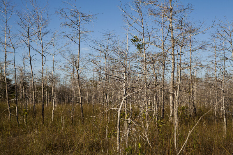 Group of Dwarf Bald Cypress Trees at the Big Cypress National Preserve
