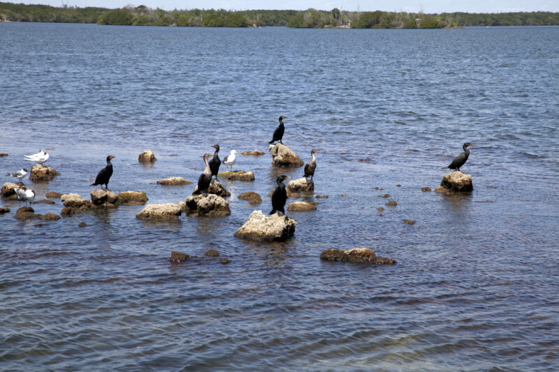 Group of Seabirds Including Double-Crested Cormorants