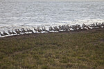 Group of Shorebirds Covering the Coastline at the Florida Campgrounds of Everglades National Park