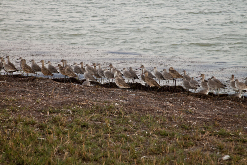 Group of Shorebirds in a Line at the Florida Campgrounds of Everglades National Park