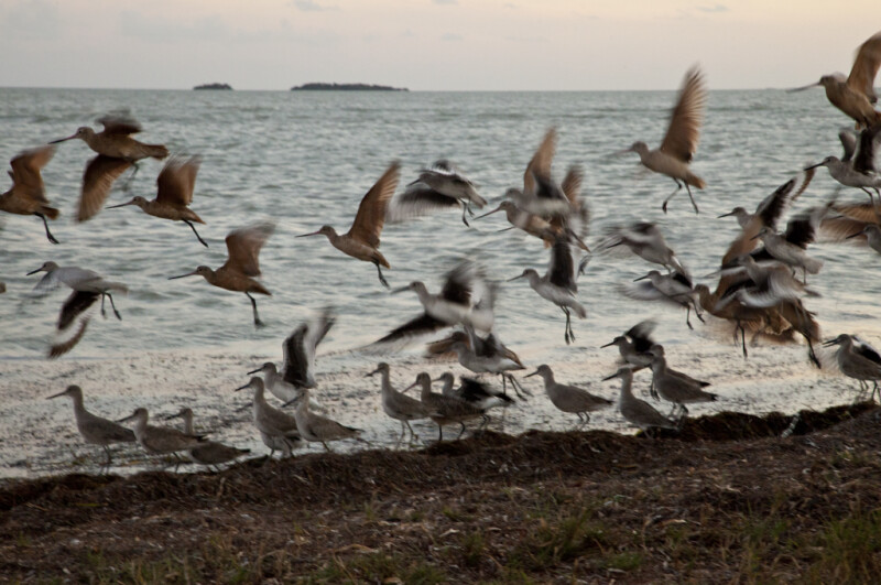 Group of Shorebirds Taking Flight at the Florida Campgrounds of Everglades National Park