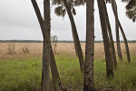 Group of Slanted Palm Trees at Myakka River State Park
