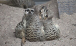 Group of Slender-Tailed Meerkats Sitting in Dirt