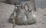 Group of Slender-Tailed Meerkats Sitting in Dirt