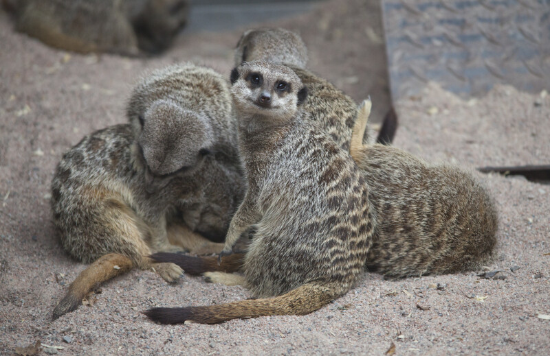 Group of Slender-Tailed Meerkats