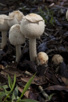 Group of White Mushrooms
