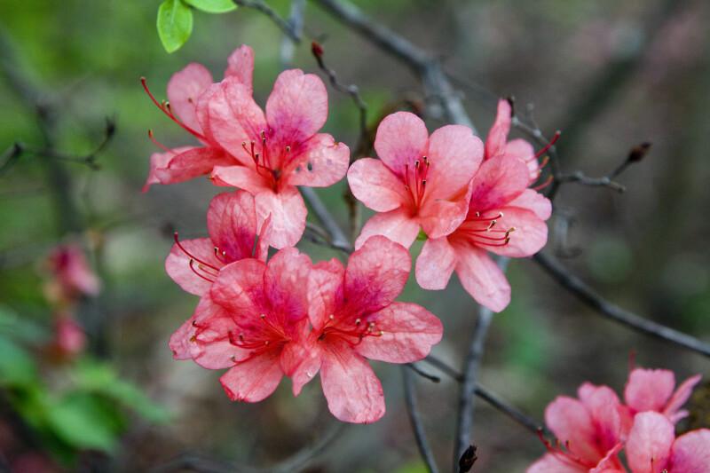 Groups of Torch Azalea Flowers