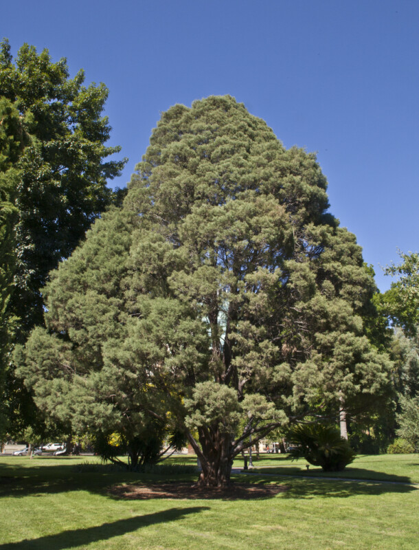 Guadalupe Island Cypress Tree at Capitol Park in Sacramento