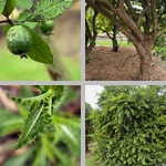Guava Trees photographs