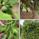 Guava Trees photographs