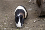 Guinea Pig Frontal View