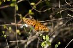 Gulf Fritillary on Branch