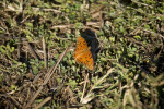 Gulf Fritillary on Ground
