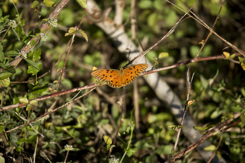 Gulf Fritillary Resting on Branch