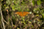 Gulf Fritillary with Wings Spread