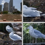 Gulls photographs