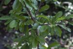 Gum Bumelia Branch
