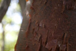 Gumbo Limbo Bark Close-Up