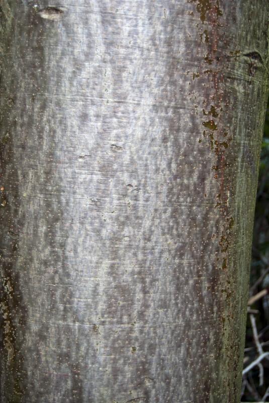 Gumbo Limbo Detail