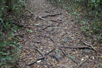 Gumbo-Limbo Roots Covering a Path at Long Pine Key of Everglades National Park