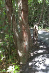 Gumbo-Limbo Tree Along Gumbo Limbo Trail at Everglades National Park