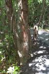Gumbo-Limbo Tree Along Gumbo Limbo Trail at Everglades National Park