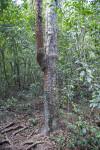 Gumbo-Limbo Tree Amongst Other Trees