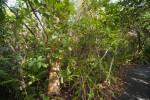 Gumbo-Limbo Tree Amongst other Vegetation at Everglades National Park