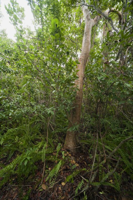 Gumbo-Limbo Tree at Everglades National Park